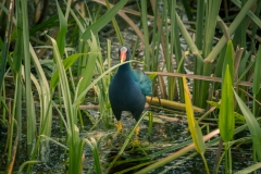 Everglades_-11