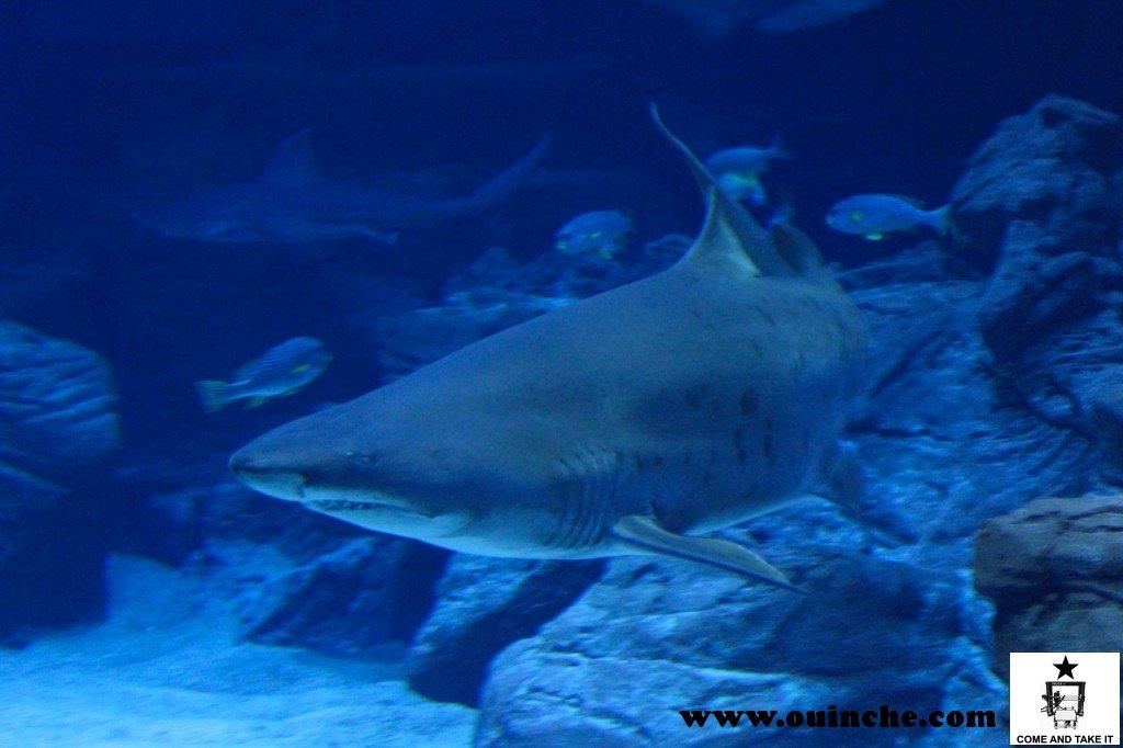 Requin Taureau